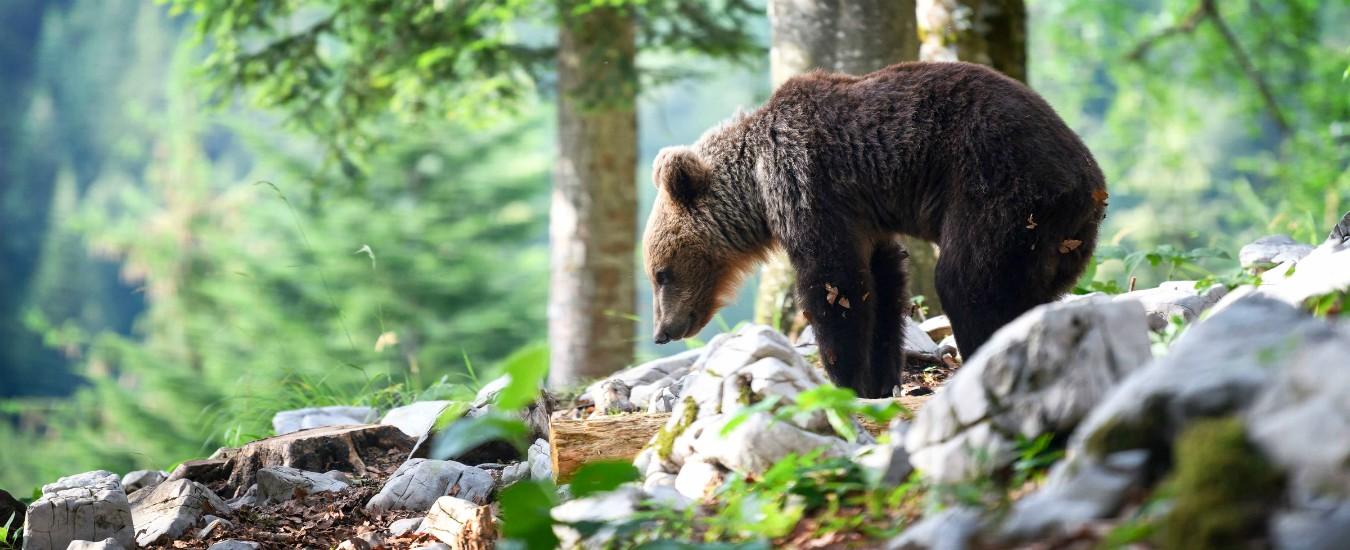 """Il caso dell'orso M49, presidente Trentino: """"Fa troppi danni, verrà catturato"""". Il ministro Costa: """"L'ordine non è valido"""""""