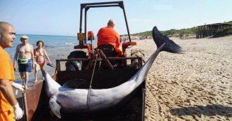 Livorno, quattro delfini spiaggiati in 48 ore: si indaga sulle cause della morte dei mammiferi