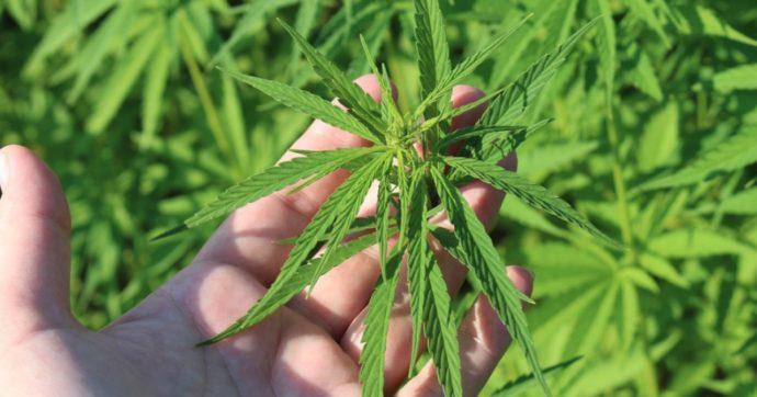 Cannabis, una pianta maestra di meditazione e spiritualità