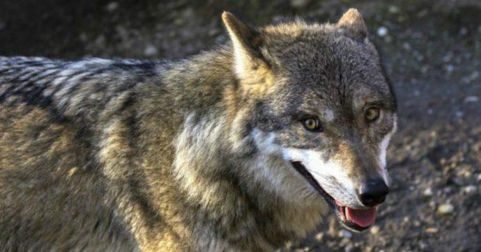 """Trento, stop a ronde contro lupi e orsi. Ambientalisti: """"Soldi pubblici sprecati"""""""