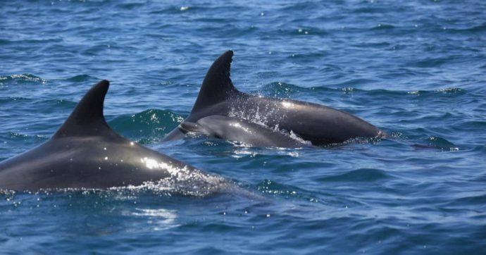 Toscana, 33 delfini trovati morti sulla costa da inizio anno