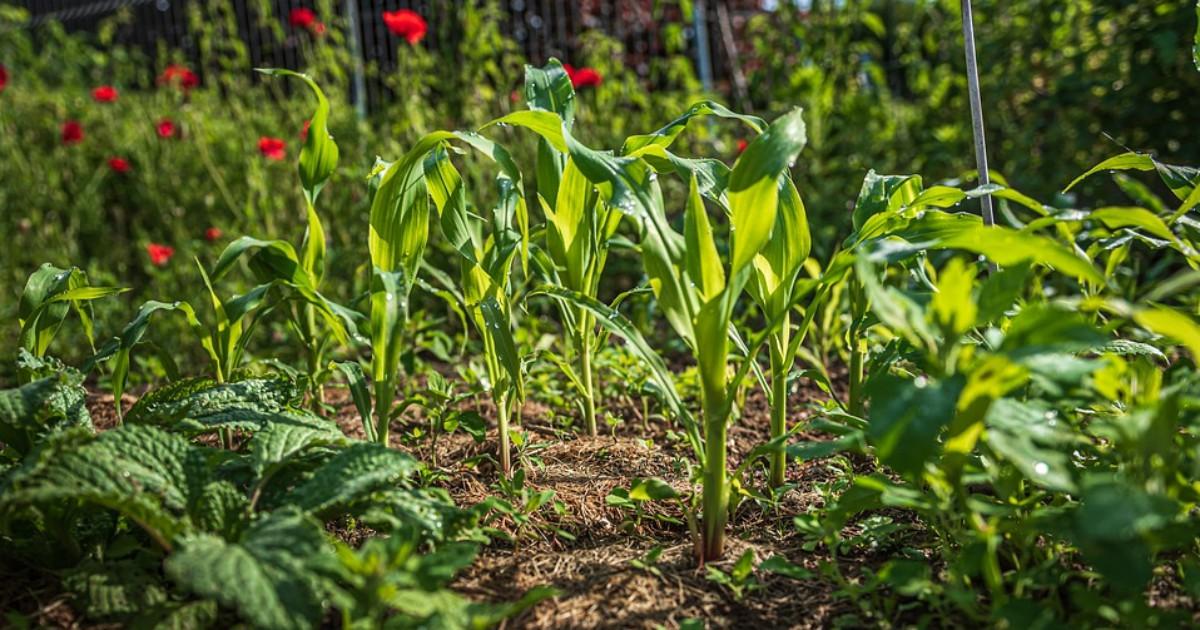 Un orto in salute è ricco di biodiversità: dieci consigli per realizzarla (erbacce comprese)