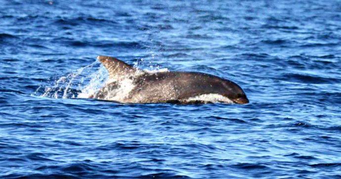 Delfini morti in Toscana, un virus la causa: attesa per i risultati delle autopsie