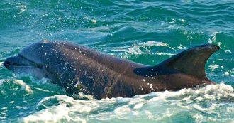 """Delfini morti in Toscana, i risultati delle autopsie: """"Si tratta di morbillo dei cetacei"""""""