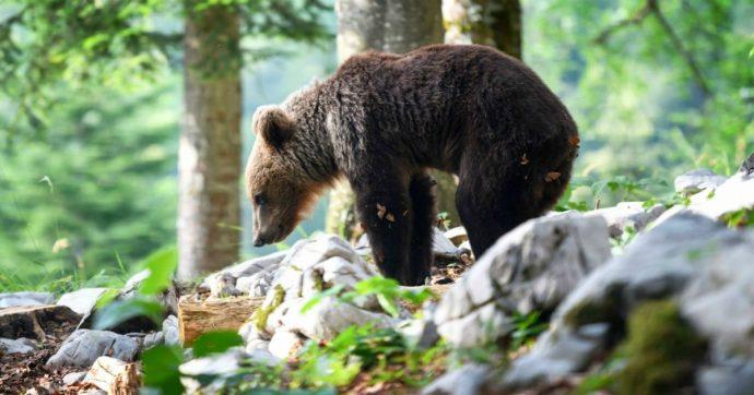 Trentino, udite udite: l'orso M49 si è svegliato dal letargo. Anche se non siamo in primavera