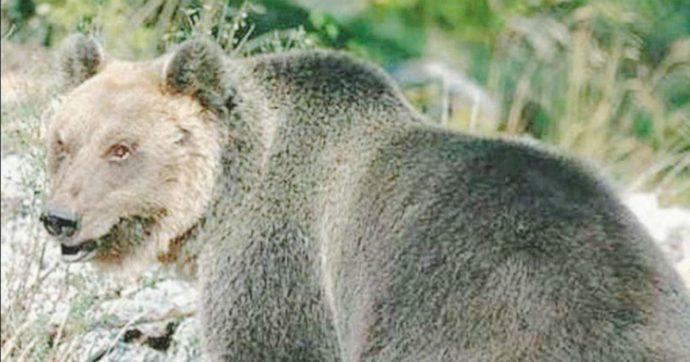 """Trento, catturato l'orso M49: riportato nel recinto del Casteller. Ambientalisti: """"Ingiusta crudeltà"""". Costa: """"Cerco Paese che lo accolga"""""""