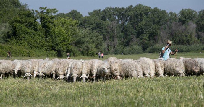 Trentino, moria di pecore nei pascoli in alta quota: 180 animali trovati senza vita a Borzago