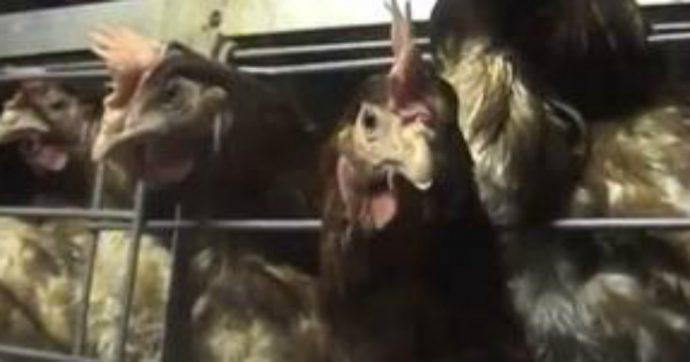 Brescia, morte 10mila galline per asfissia dopo essere rimaste per ore al caldo nei capannoni