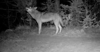 """""""Avete mai visto un lupo libero ululare?"""". La scena (con la risposta del branco) catturate dalla fototrappola: il video diffuso sui social"""