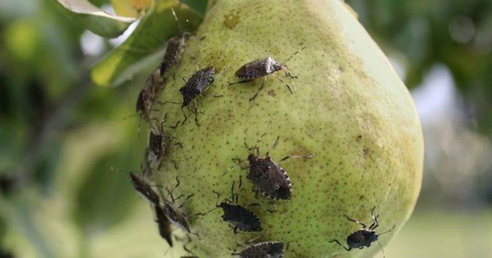 """Mantova, frutticoltura a rischio: """"Cimice asiatica come la Xylella. Distrutte intere coltivazioni. Danni per 9,5 milioni di euro"""""""
