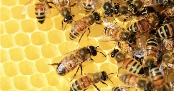"""Toscana, è """"l'anno nero dell'apicoltura"""". Produzione di miele ai minimi: colpa di clima, pesticidi e siccità. """"A rischio anche i raccolti"""""""