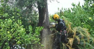 Xylella non è l'unica causa del disseccamento degli ulivi. Inutile abbattere alberi sani