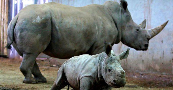Rinoceronte bianco, creati due embrioni in vitro della specie in via di estinzione