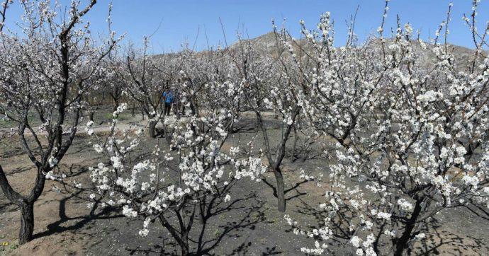 """Cambiamento climatico, """"temperature già aumentate di 2 gradi"""": lo dimostra una ricerca sulle albicocche durata 40 anni"""