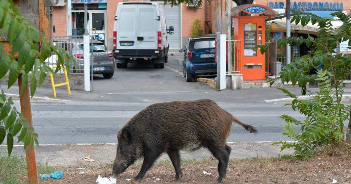 Roma, delibera del Campidoglio: i cinghiali che invadono le strade nella parte Nord della capitale saranno abbattuti