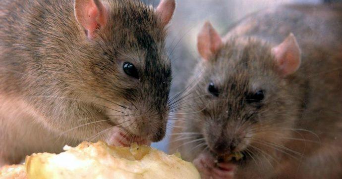 """Invasione di topi in Australia, milioni di ratti si infilano ovunque: """"Piaga biblica, neanche il veleno funziona"""""""