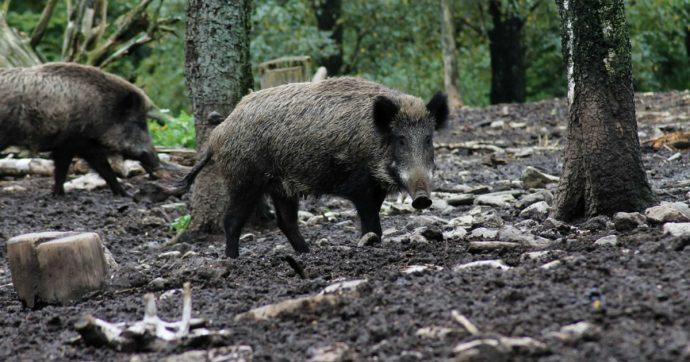 Toscana, l'autostrada Firenze-Pisa chiusa per catturare animali selvatici pericolosi per i viaggiatori: presi anche 16 caprioli