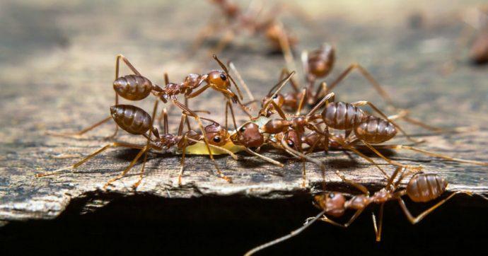 Scoperta una colonia di milioni di formiche cannibali in un ex bunker nucleare: ecco come sopravvivono