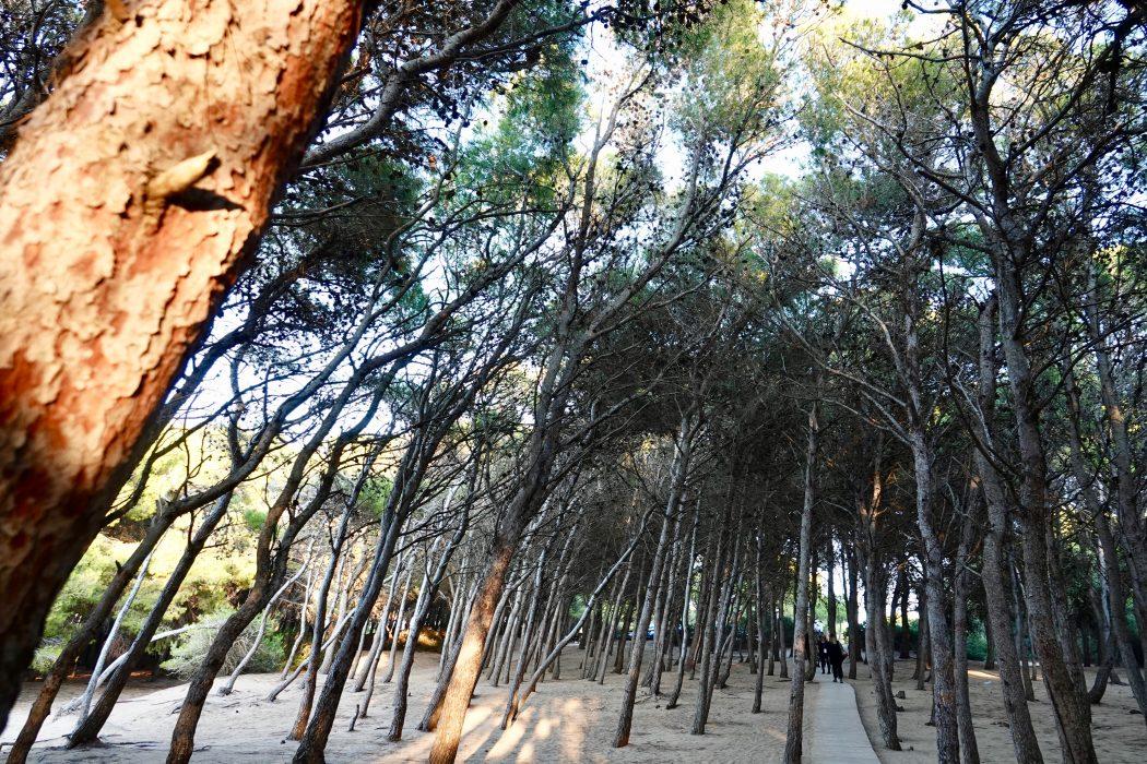 La pineta nel parco naturale regionale Lido Pizzo