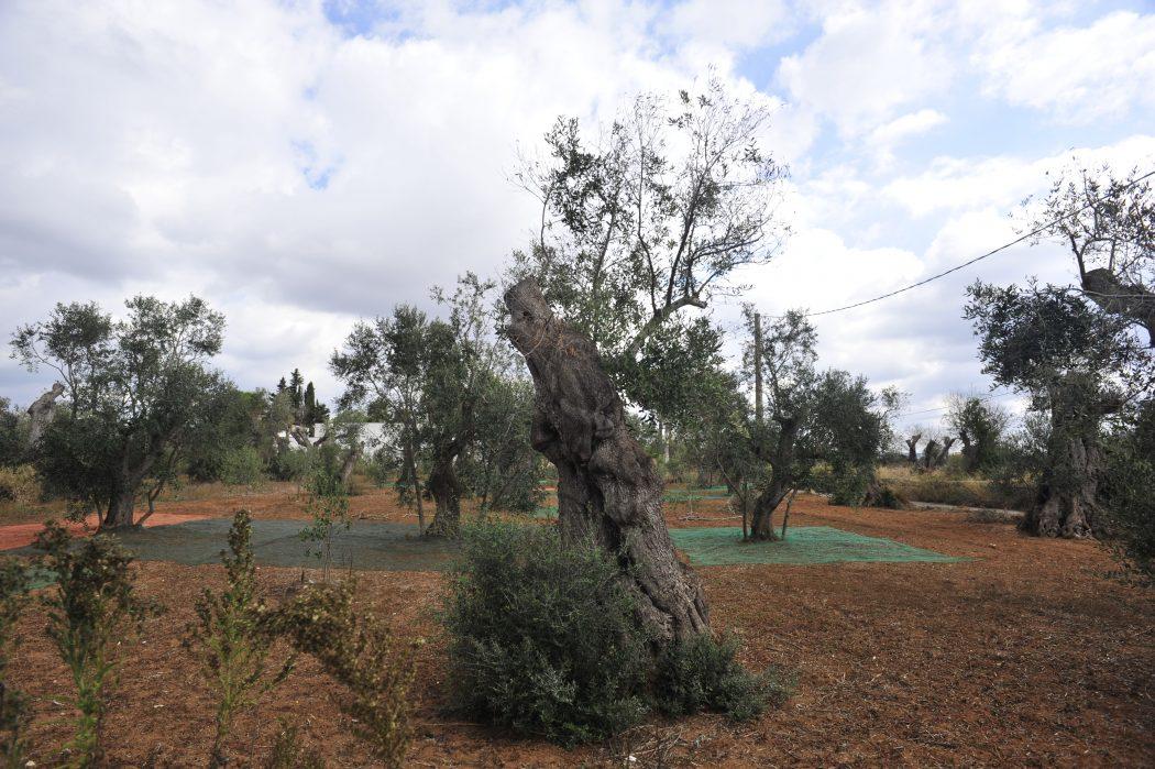 Un uliveto, con le reti per la raccolta delle olive