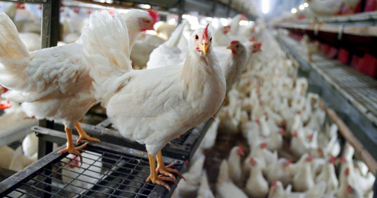 Contro l'allevamento intensivo: cittadini vs esercito dei polli 1-0