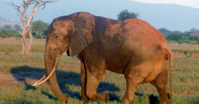 """Arriva il gin al sapore di sterco di elefante: """"Delizioso, boscoso, speziato"""""""