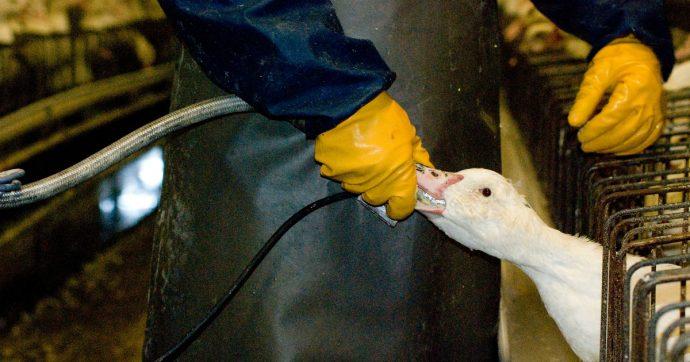 Foie gras rimosso da tutti i supermercati italiani. Solo un marchio ci deve ancora una risposta
