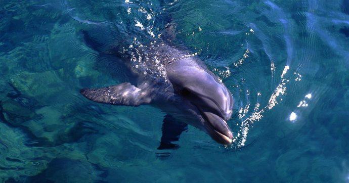 Lazio, delfina trovata morta sul lungomare di Ardea: è stata stritolata da un filo di nylon