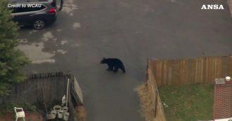 Un orso diventa padrone del quartiere: la passeggiata tra le case ripresa da un drone