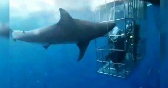 """Lo squalo attacca i sub ma rimane incastrato nella gabbia. La denuncia: """"Così è morto dissanguato, lo avete ucciso"""""""