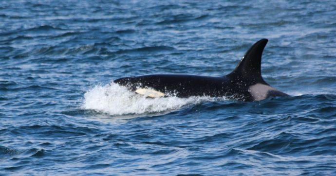 Genova, le orche avvistate a inizio dicembre lasciano il porto e si dirigono verso ovest