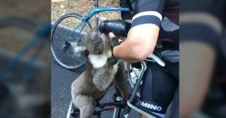 Australia, il koala fugge dagli incendi e cerca acqua: una ciclista si ferma e gli dà quella della sua borraccia