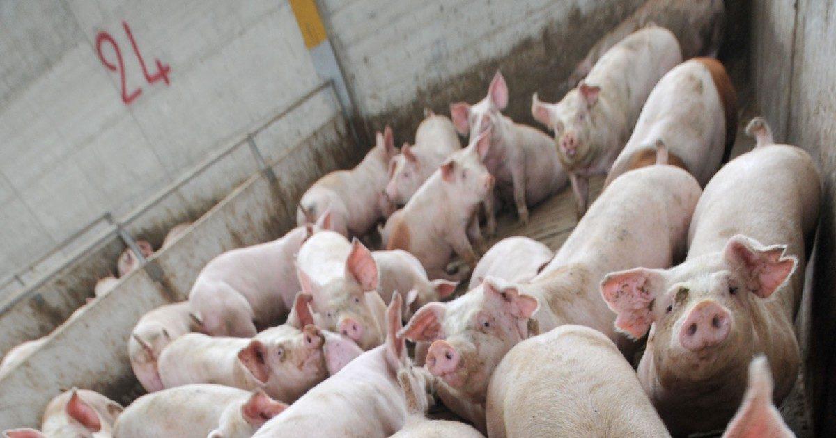Peste suina, sequestrate 10 tonnellate di carne cinese