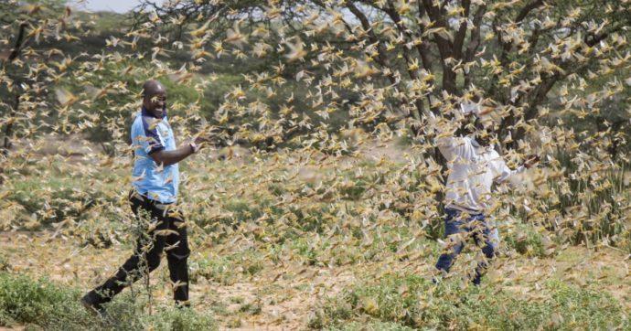 Invasione di locuste in Africa: un 'effetto farfalla' che a me ricorda la pandemia