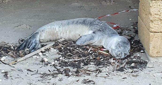 Brindisi, cucciolo di foca monaca trovato su una spiaggia di Torre San Gennaro: è morto dopo l'intervento dei veterinari