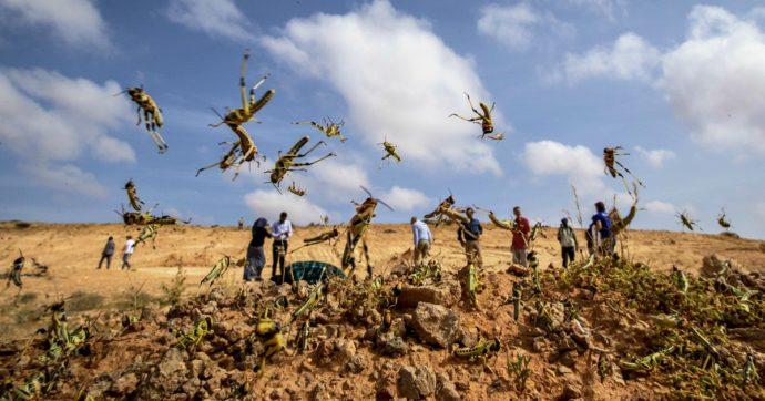"""Africa, l'invasione delle locuste: in Uganda la popolazione mangia gli insetti. """"Causerà la peggiore crisi umanitaria degli ultimi tempi"""""""