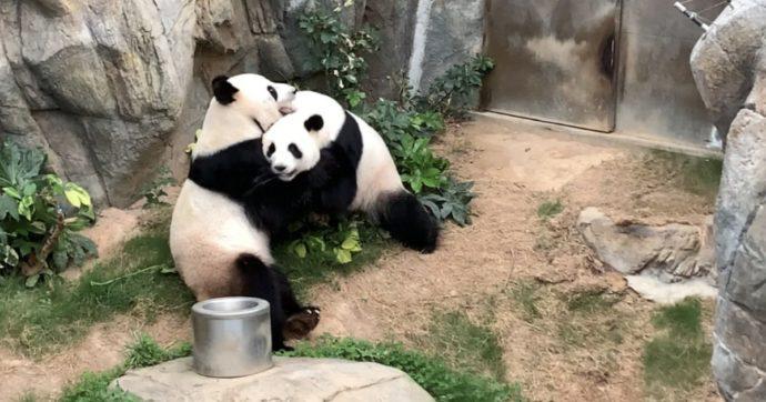 Lo zoo chiude per coronavirus e i due panda rimasti soli si accoppiano (dopo dieci anni di tentativi)