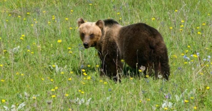 L'orso M49 si libera dal collare elettronico per la geolocalizzazione: ora è di nuovo ricercato