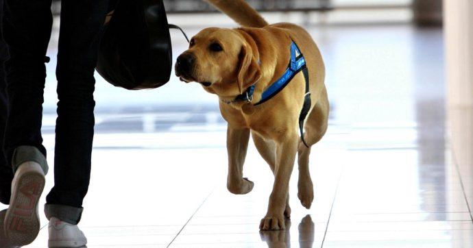 Coronavirus, in Gran Bretagna via alla sperimentazione per capire se i cani siano in grado di fiutare il Covid-19 sulle persone