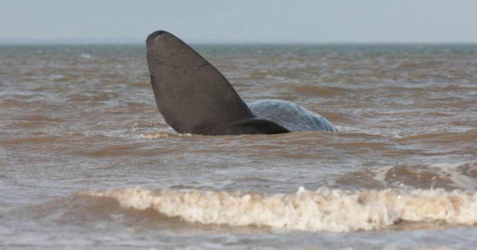 """Pescatori trovano una balena morta sulla spiaggia: la puzza terribile e poi l'incredibile scoperta. """"È piena d'oro nel ventre"""""""