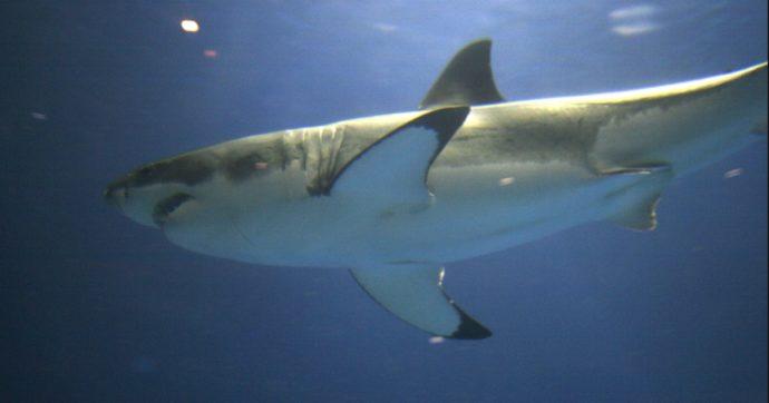 Ragazzo di 12 anni attaccato da un raro squalo a rischio estinzione: ha perso un braccio ed è in terapia intensiva