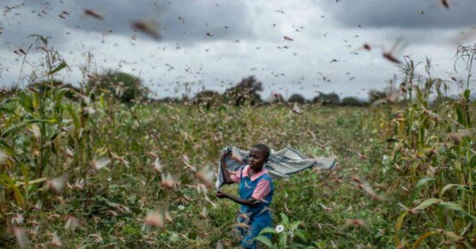 India, invasione delle locuste a Delhi: nelle città devastano gli alberi. Droni per spruzzare pesticidi
