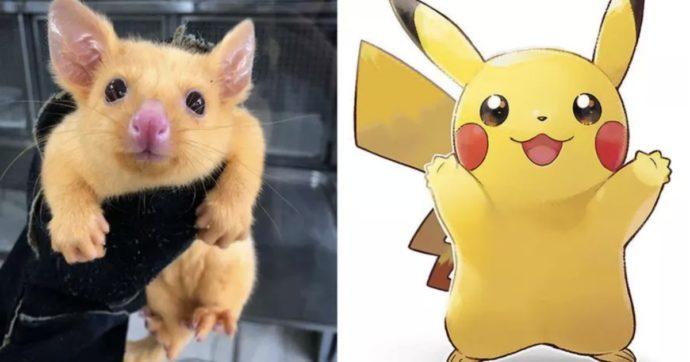 Pokémon, Pikachu esiste davvero: è un raro tricosuro volpino dorato e vive in Australia