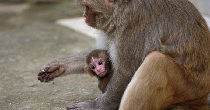 """Coronavirus, a Gibilterra divieto di toccare le scimmie per i turisti: """"Garantire che non si ammalino di Covid-19"""""""