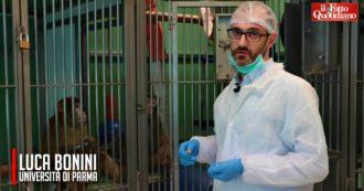 """Sperimentazione sui macachi, con la telecamera nel laboratorio di Parma: """"Grazie a loro studiamo il cervello, benefici per oltre 100mila persone"""""""