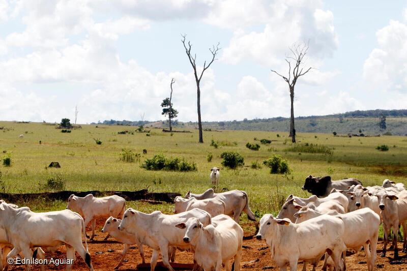 Giornata mondiale dell'ambiente – Brasile, l'Amazzonia divorata dagli allevamenti: così la carne che arriva in Europa è contaminata dall'illegalità