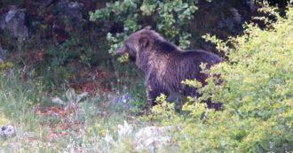 """Trentino, padre e figlio feriti da un orso a 1.500 metri: """"È uscito dal bosco come un fulmine"""""""