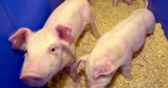 """Cina, lo studio: """"Scoperto un virus nei maiali che ha il potenziale per diventare pandemico"""""""
