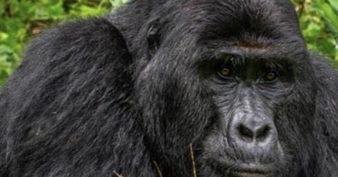 """Rafiki ucciso da quattro bracconieri: il gorilla """"re"""" dell'Uganda pugnalato a morte"""