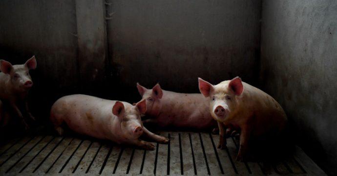 Stop alle pratiche crudeli sui maiali negli allevamenti: per questo nasce #SosPig